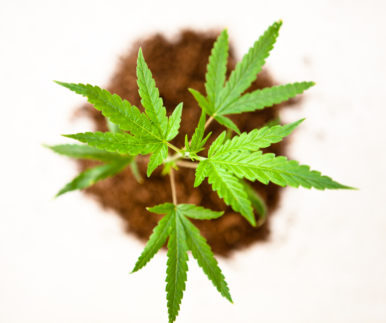 "Marijuana: Four myths busted about one ""little plant"" 