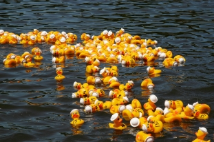 Numerous yellow rubber ducks floating on the lake